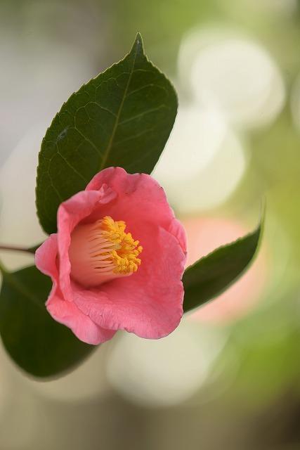 藪椿ピンク1