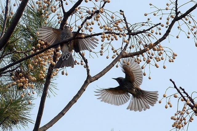 ヒヨドリの羽ばたき1