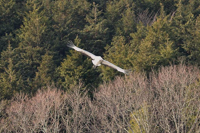 自然保護センターの丹頂2