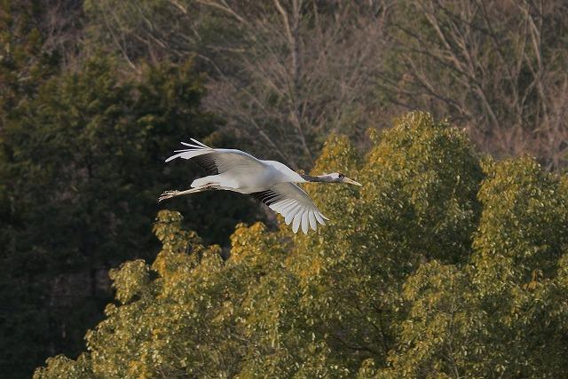 自然保護センターの丹頂6