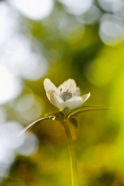 河合の節分草8