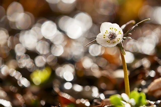 河合の節分草10