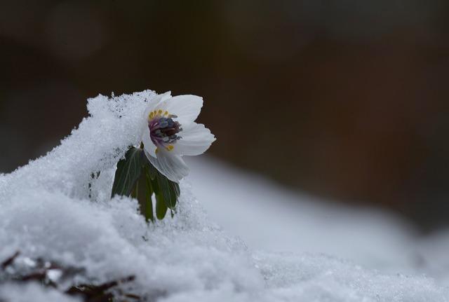 雪の中の節分草4