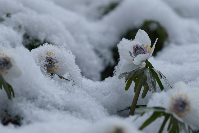 雪の中の節分草5