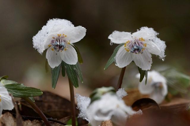 雪の中の節分草3