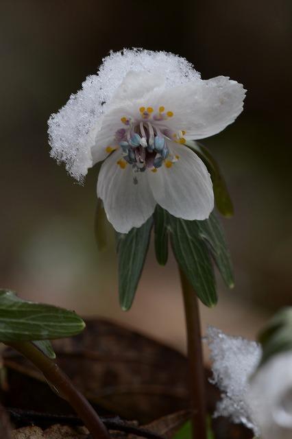 雪の中の節分草3-2