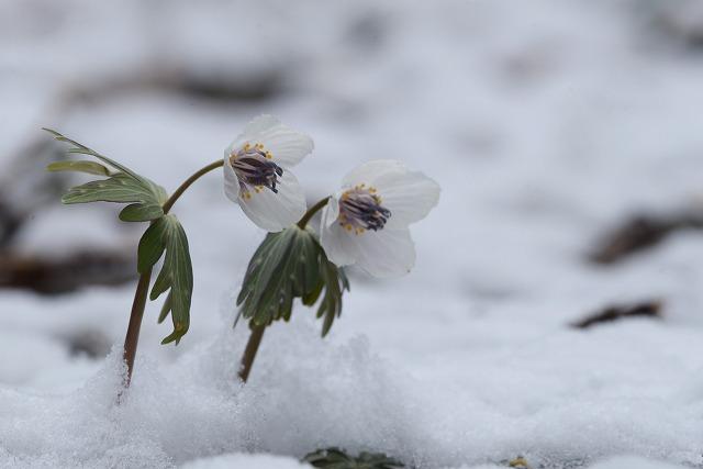 雪の中の節分草2