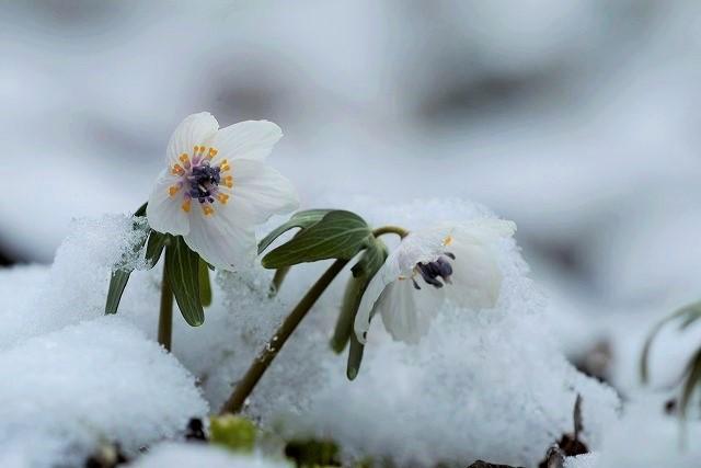 雪の中の節分草1