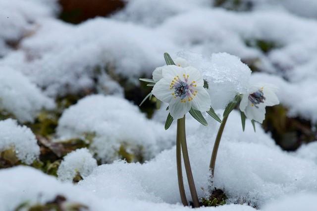 雪の中の節分草6