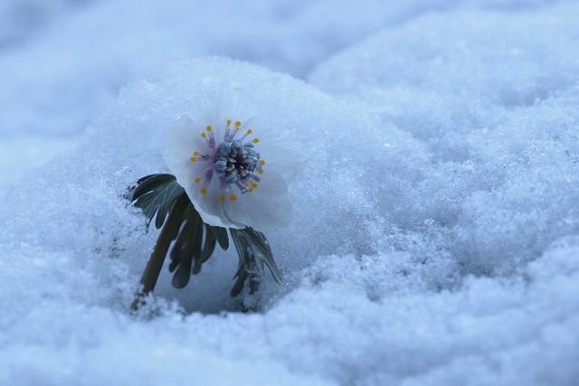 雪の中の節分草12