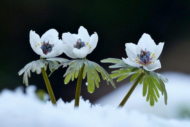 雪の中の節分草10