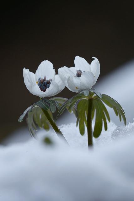 雪の中の節分草11