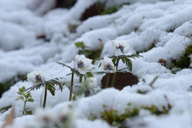 雪の中の節分草9