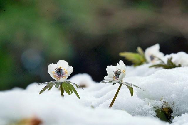 雪の中の節分草8