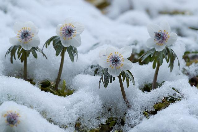 雪の中の節分草7