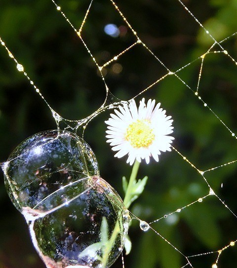 クモの巣とシャボン玉と源平小菊