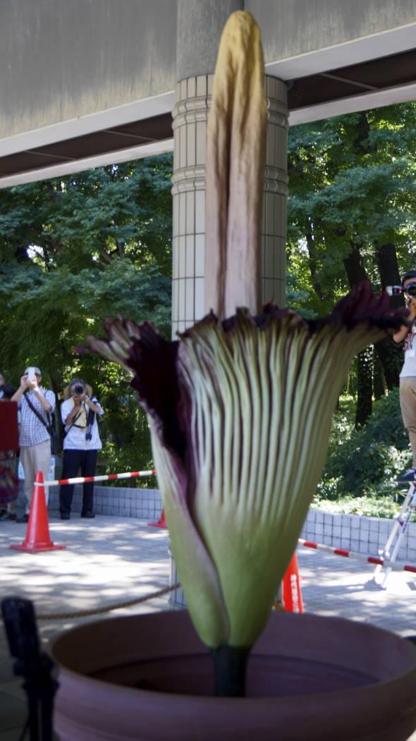 AAA神代植物園ショクダイオオコンニャクー8ー20150722