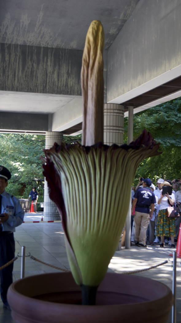 AAA神代植物園ショクダイオオコンニャクー11ー20150722