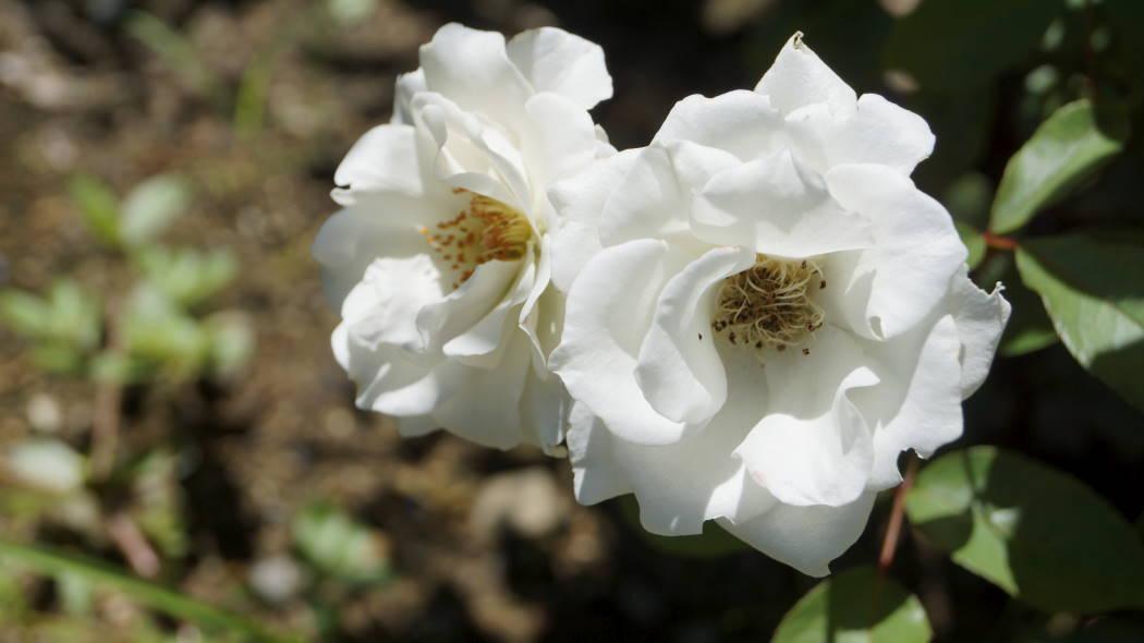 AAAA殿ー神代植物園バラ園アイスバーグー1ー2015072