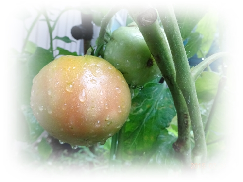 DSC02457色づいてきた初トマト