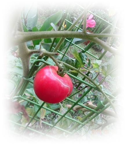 DSC02927トマト