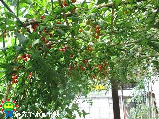 ミニトマト7・29