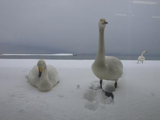 白鳥のたび