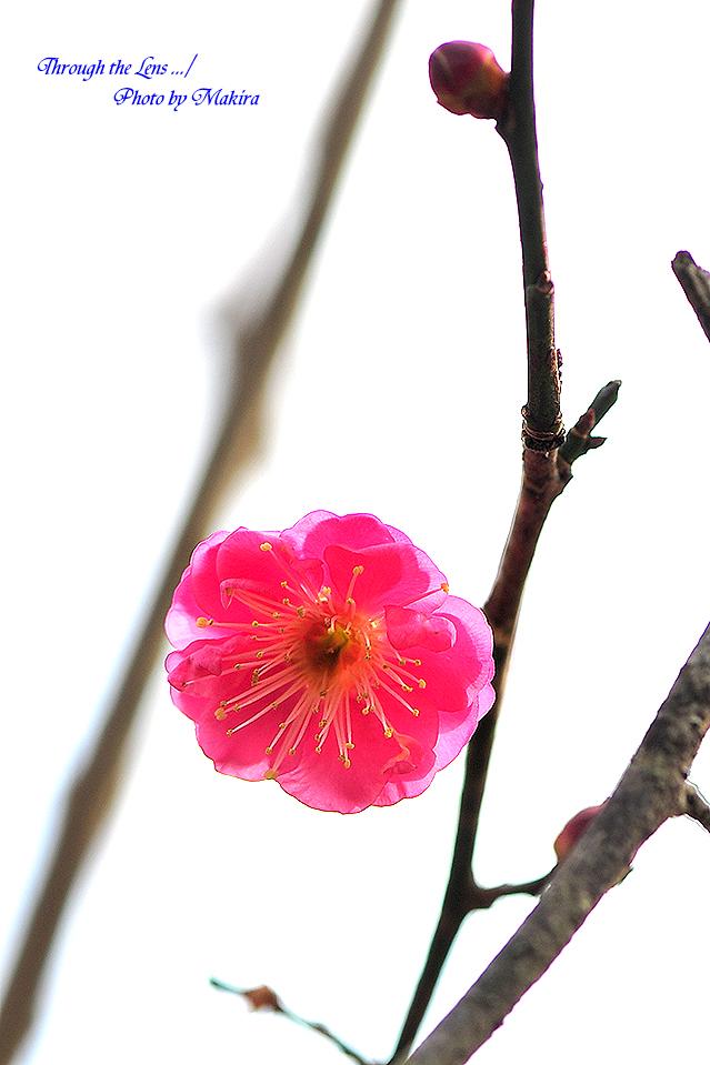 ヤエカンコウ(八重寒紅)5