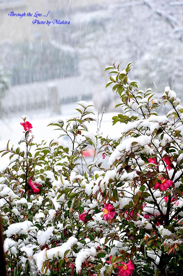 庭の雪中椿1