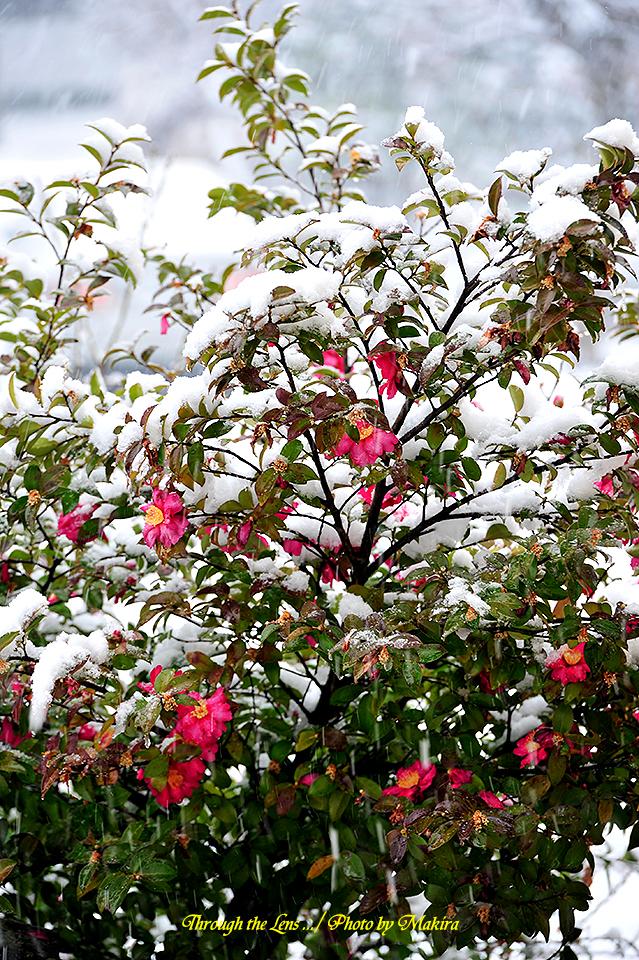 庭の雪中椿2