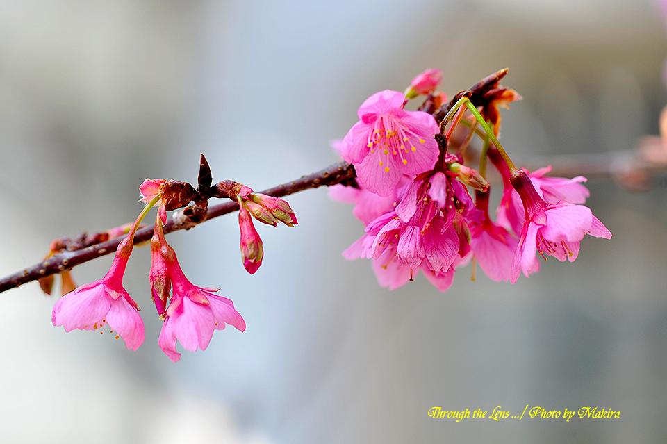 久保山緋桜1
