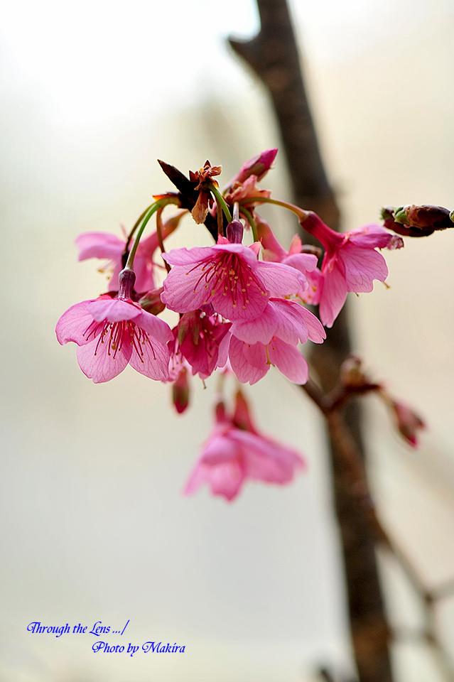 久保山緋桜2