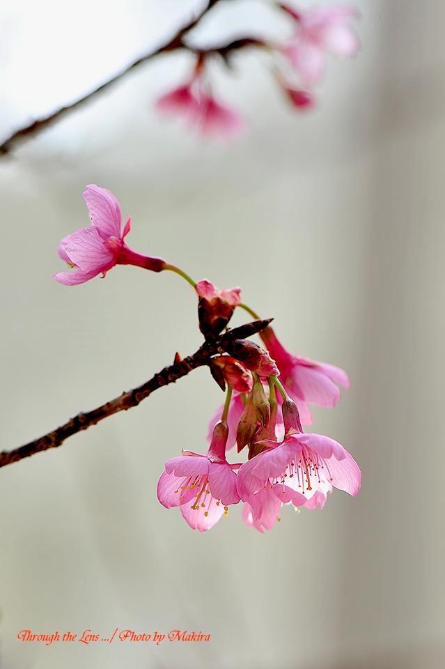 久保山緋桜3