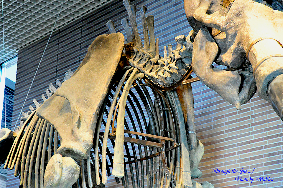 恐竜化石松花江(しょうかこう)マンモス)4