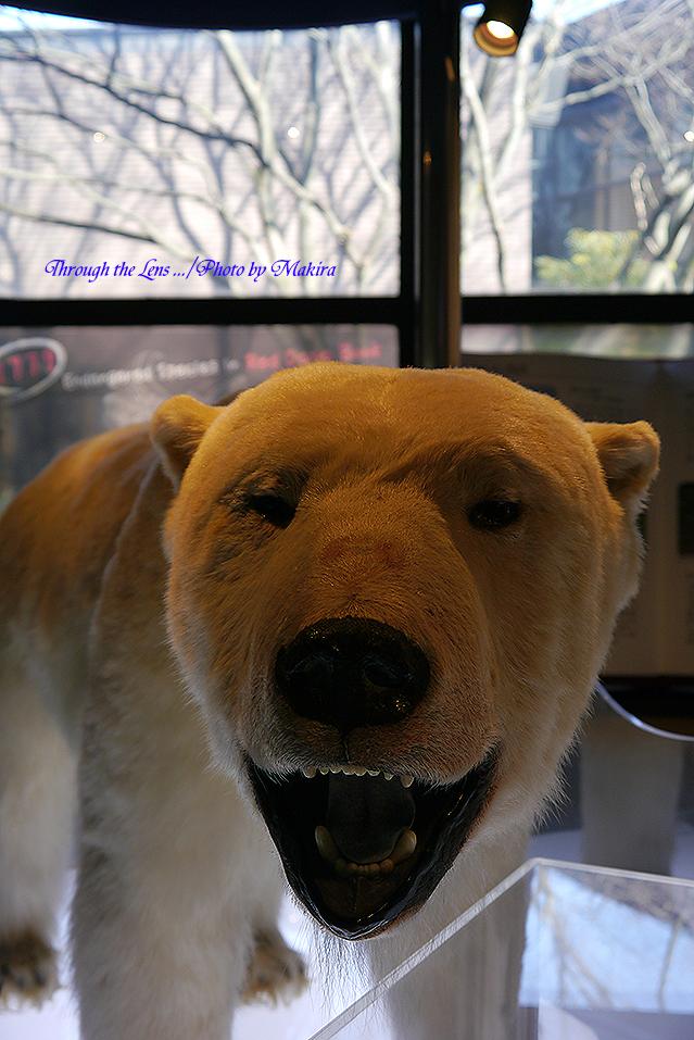北極熊剥製L1