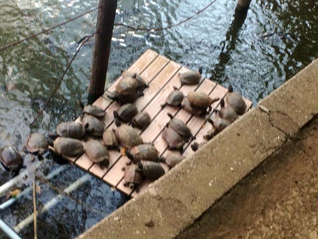 池にいる大量の亀1 by占いとか魔術とか所蔵画像