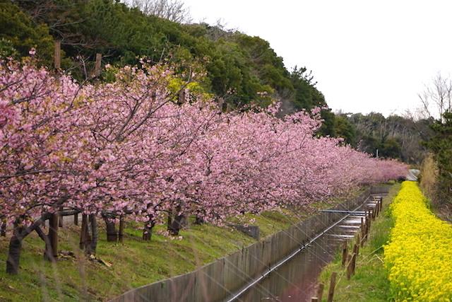 0308河津桜1