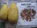 H27.7.27バナナウリ収穫・種取り@IMG_5817