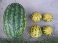 H27.7.31今日の収穫物@IMG_5847