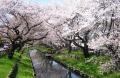 新河岸川の花見