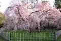 御所・近衛邸跡の枝垂桜