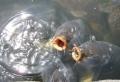 池の鯉(清澄庭園にて)