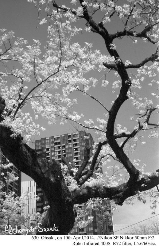 桜の樹630-6