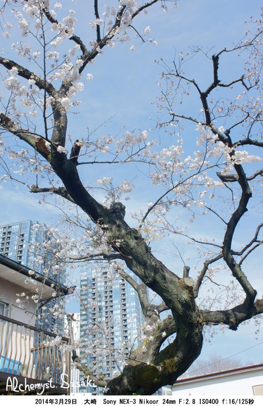 桜の樹DSC07938