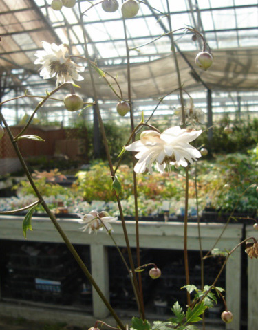 八重咲きレンゲショウマ