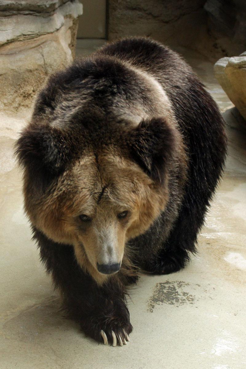 チベットヒグマ 王子動物園 140327
