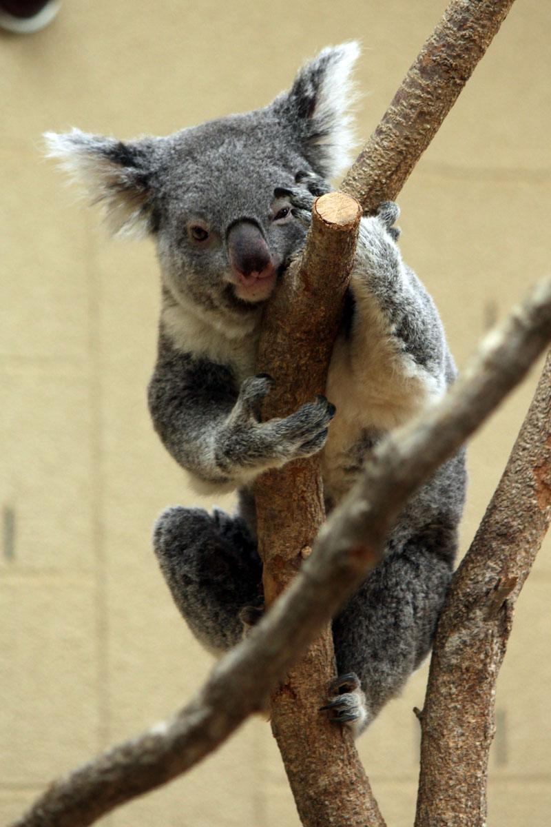 コアラ 王子動物園 140327