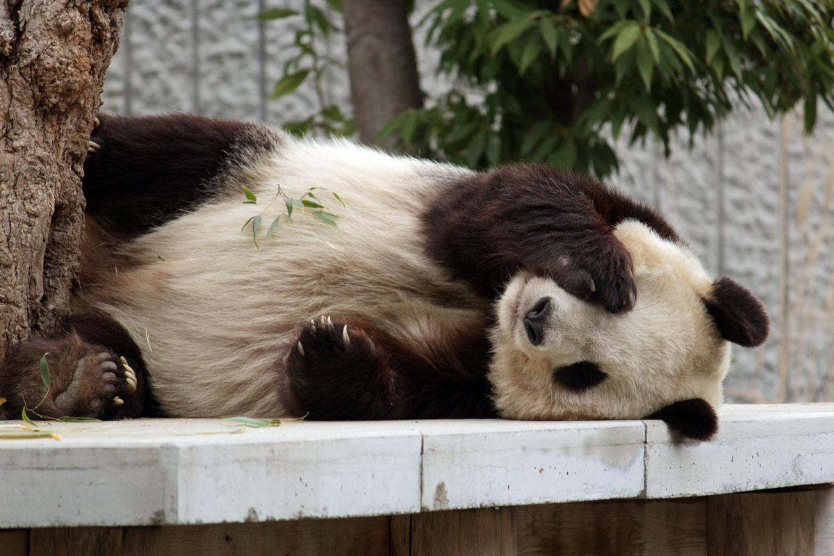 ジャイアントパンダ 王子動物園 140327