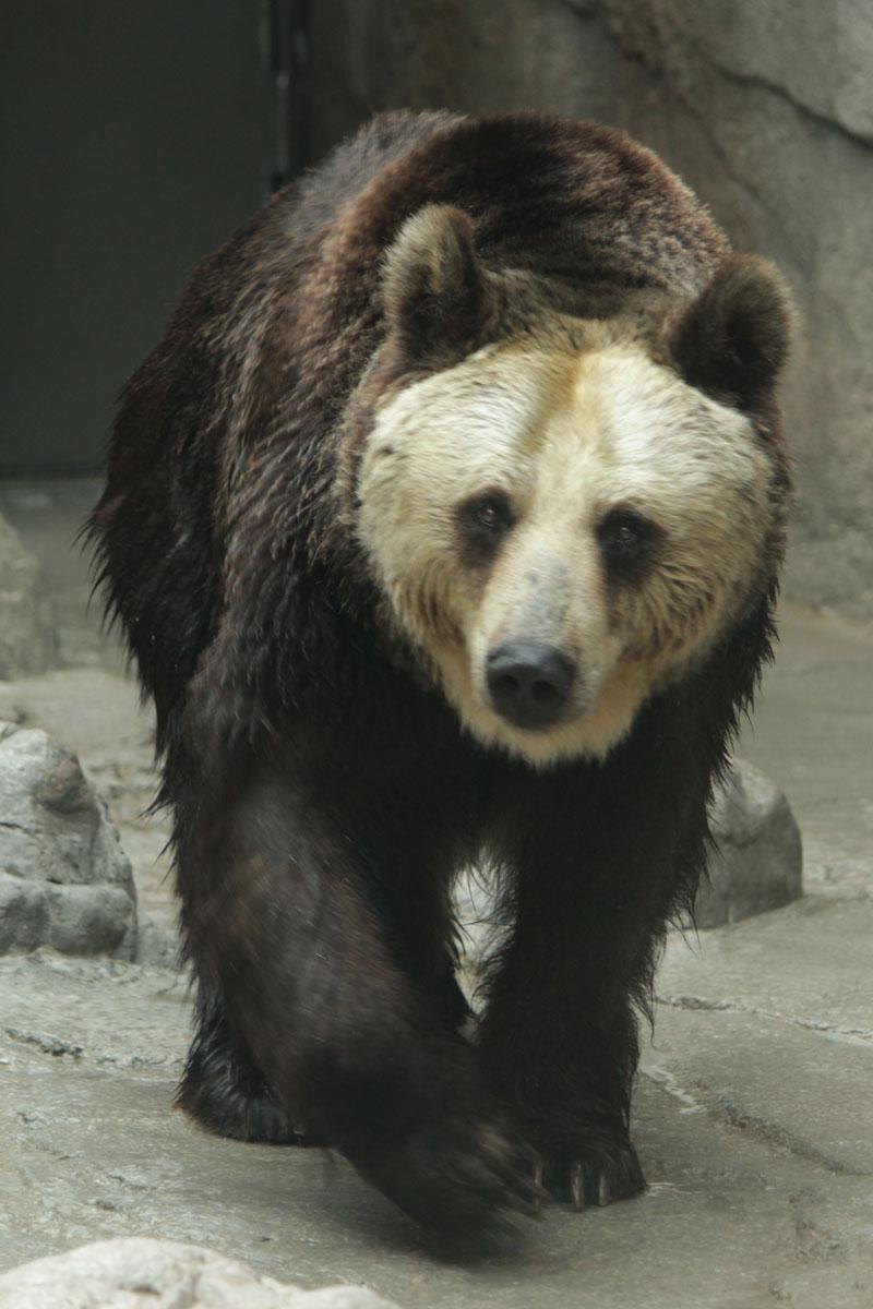 エゾヒグマ 王子動物園 140327