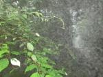 ミヤママタタビ